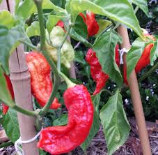 BHUT JOLOKIA II - 10 PEPPER SEEDS